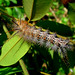 Caterpillar on Inga sp., Leguminosae, Atlantic forest, northern littoral of Bahia, Brazil by Alex Popovkin, Bahia, Brazil