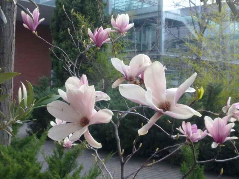 Jardineros en acci n magnolia x soulangeana - Abono para magnolios ...