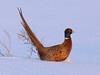 Ring-necked Pheasant - Male in Snow