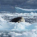 Small photo of A leopard seal smiling