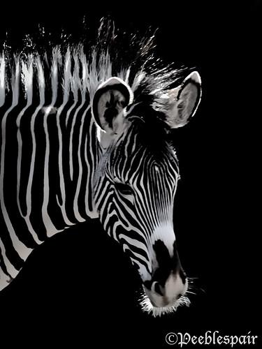 africa blackandwhite stripes ngc adorable whiskers zebra zanzibar fuzzyears magicunicornmasterpiece