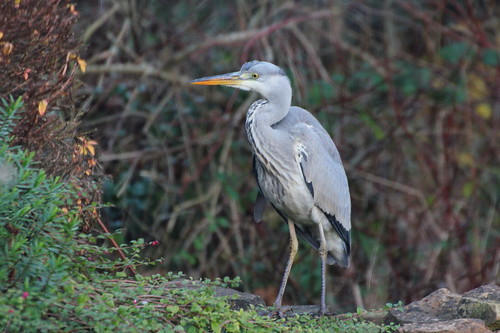 Heron waiting by Terry's Fish Pond