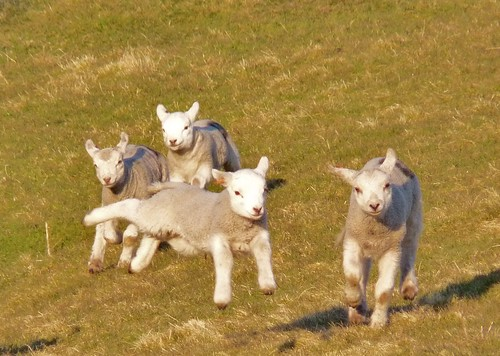 Young lambs enjoying the spring sunshine