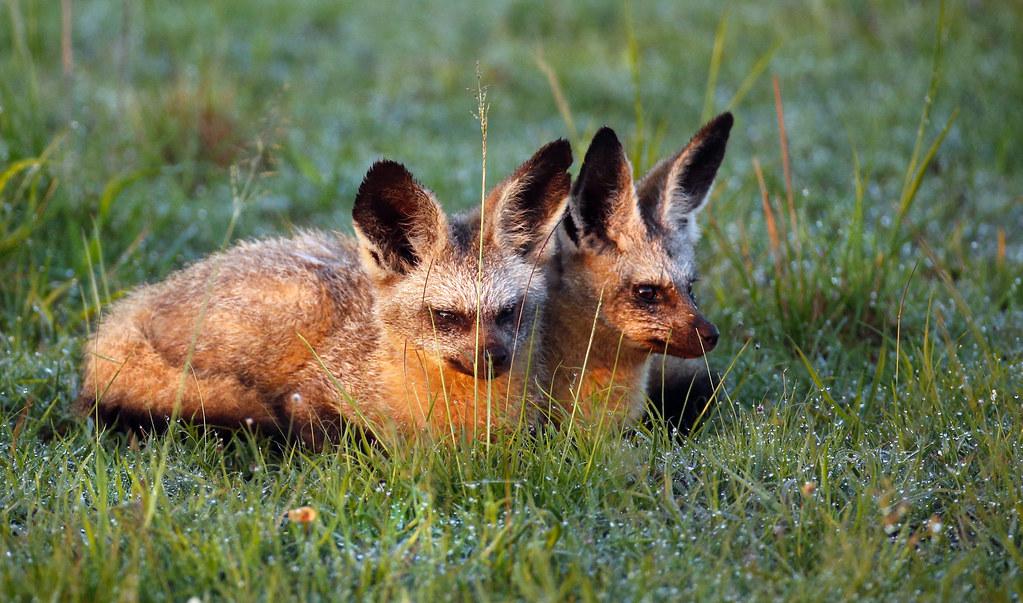 Bat eared foxes in dew L
