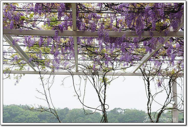 紫藤、老梅 (2)