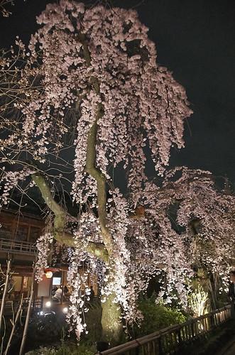 【写真】2014 桜 : 祇園白川/2020-09-13/IMGP5591
