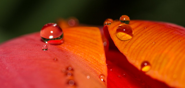 Raindrops and tulip