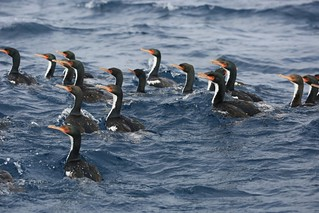 World's Rarest Shag Species Endemic Bounty Island Shag Subantarctic New Zealand