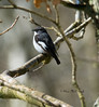 PIED FLYCATCHER by shaunmcdonagh(trying to catch up)