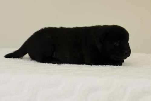 Ayui-Litter4-Day20-Puppy2-Female-c