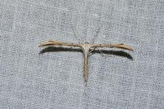 Unidentified Plume moth species