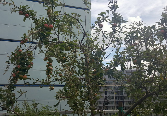 Rooftop Apple Tree