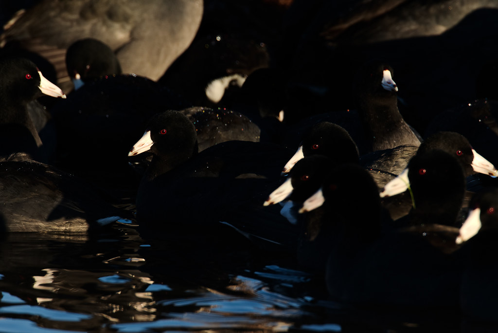 A flock of coots swims in a tight pack