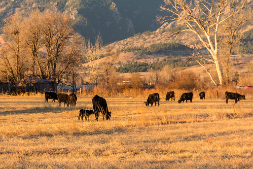 boulder colorado commute cows outdoors sunrise