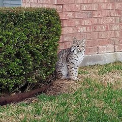 A teenage bobcat trying to stay out of the rain... 3 houses down from our house... #bobcat #phonepic #prettymarkings #zte #axon7 #wildcat