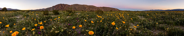 2017 Anza-Borrego Wildflowers Just After Sunset