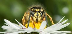 Wasp  Bee