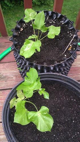 Ipomoea nil asagao plants by Gerris2