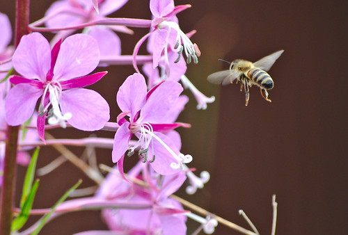 Fireweed Wildflowers with Busy Bee 1 of 4