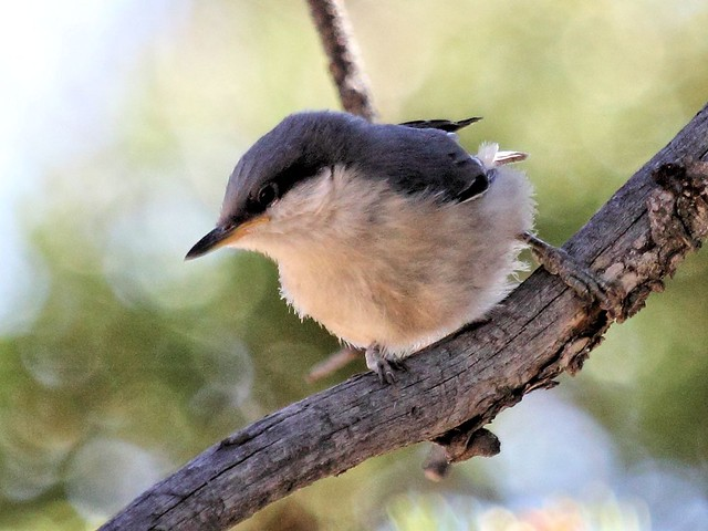 Pygmy Nuthatch 2-20130617