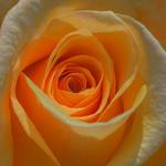 Roses, New York Botanical Garden, 2013