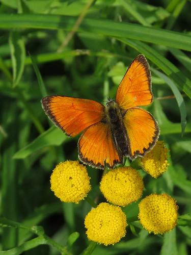 Червонец огненный — дневная бабочка из семейства голубянок. Википедия  Photo by Kari Pihlaviita on Flickr Автор фото: Kari Pihlaviita