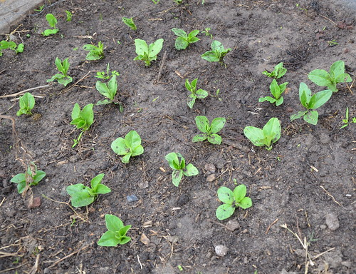 broadbean plants