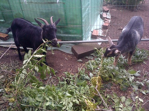 goats Sept 13 6