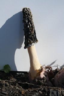 Mature stinkhorn