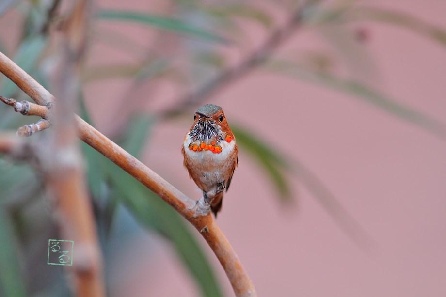 Allen's Hummingbird 110513