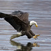 What The Fish Last Saw - Bald Eagle (Conowingo Dam, MD) by Mitch Vanbeekum Photography