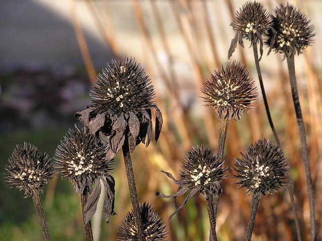 Echinacea 'Powwow Wild Perry'