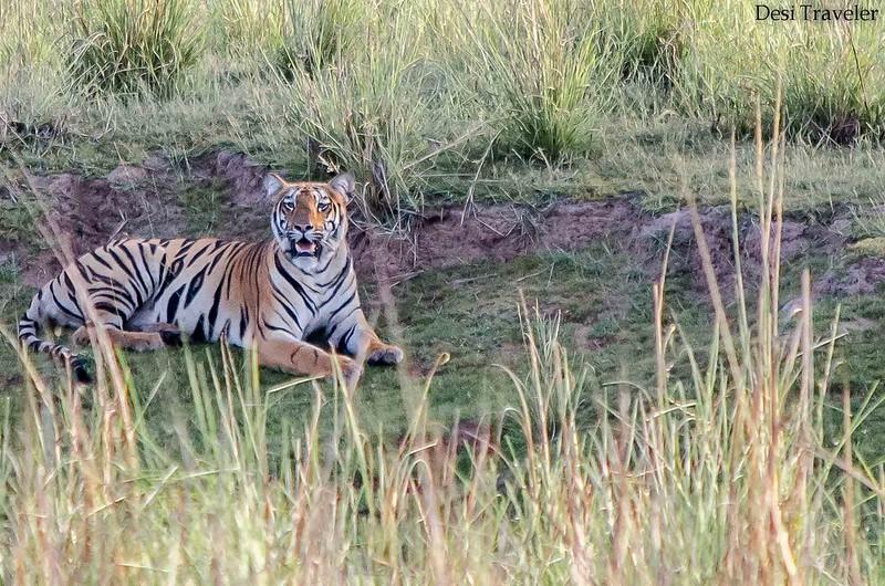 Telia Tiger Cub Tadoba