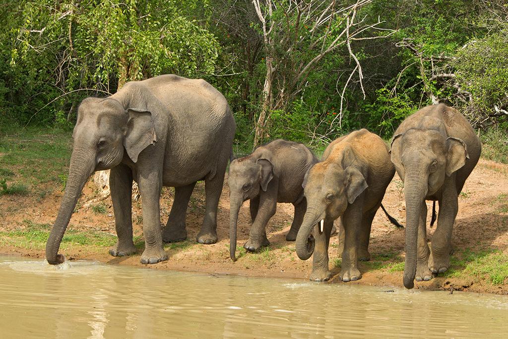 Asian Elephant Sri Lanka 2013-11-27
