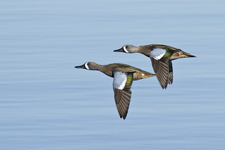 Blue-winged Teal Drakes