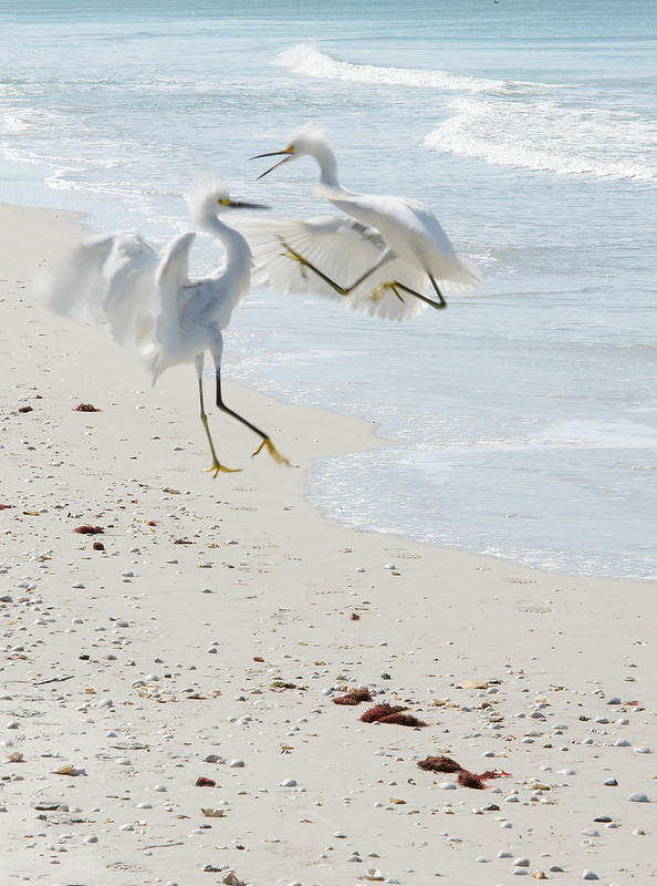 Figthing White Herons