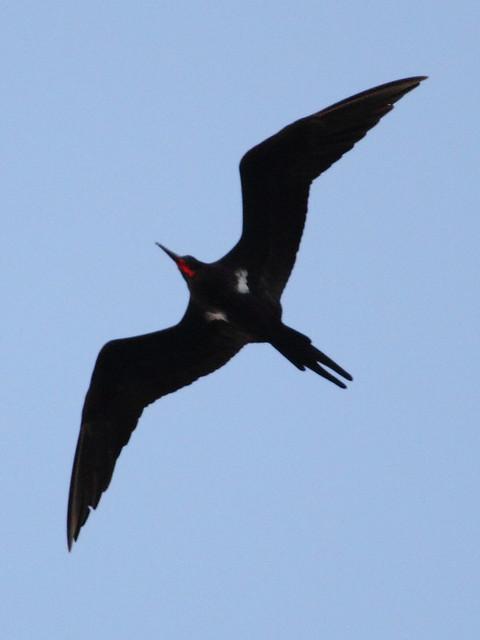 Lesser frigatebird male