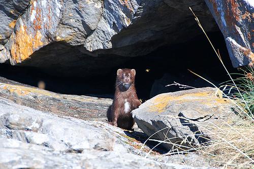 Mink at Roesland, Gulf Islands National Park, Pender Islands, Gulf Islands, British Columbia