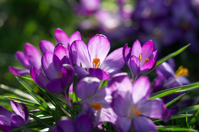 Purple crocii 1