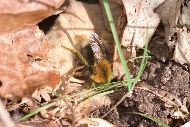 133: Tree Bumblebee