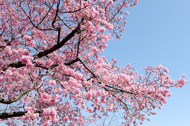 Kanzakura - blooming