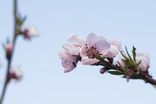 Norddeutsche Pfirsichblüte