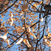 Small photo of American beech in winter