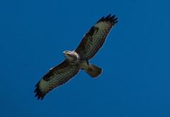 S0372952 Common buzzard