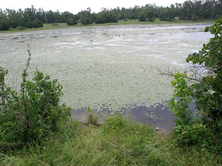 Picture of a ponds with aquatic weeds