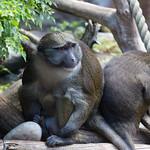 Allen's swamp monkey, San Diego Zoo