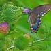 Chocolate Swallowtail by Mountain Man JC13