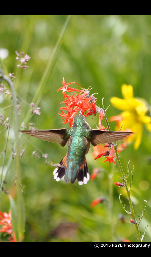 Rufous Hummingbird (Selasphorus rufus) visiting Ipomopsis aggregata