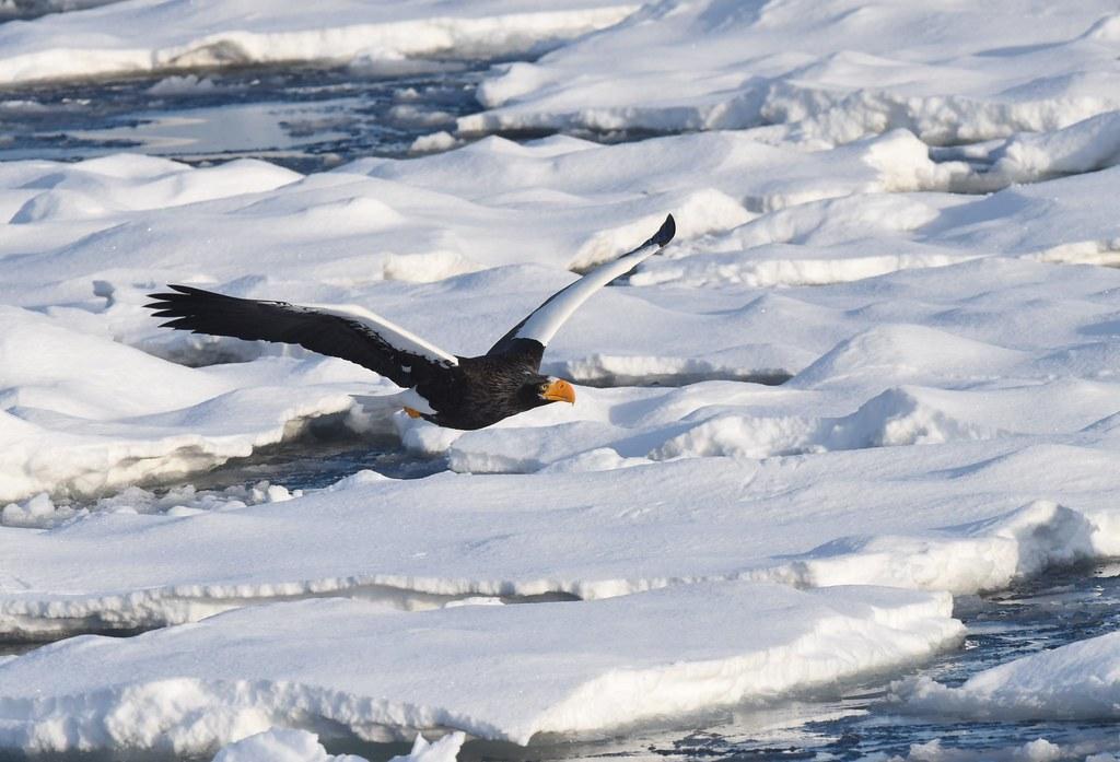 A Steller's sea eagle flying over drift ice