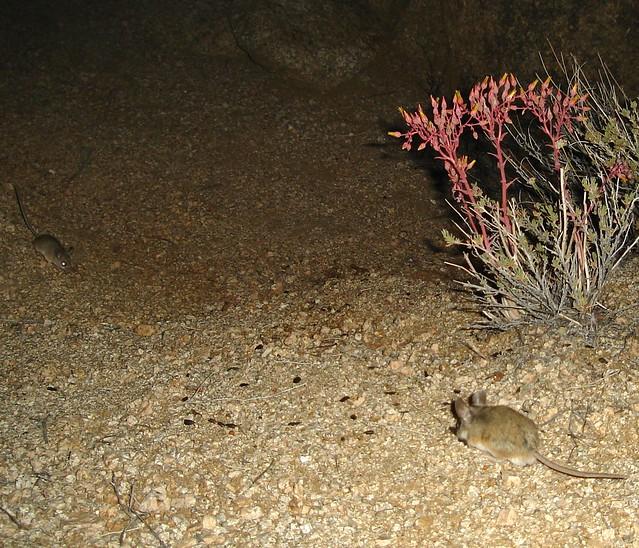 cactus mice